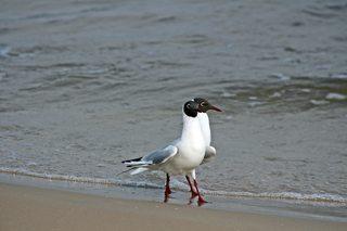 Lachmöwen am Strand - Möwe, Vogel, Gefieder, Flügel, Schnabel, Feder, Meer, Ostsee, Wasser, Strand, Sand, Welle, Möwen, Vögel, Wasservogel, laufen