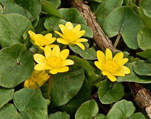 Scharbockskraut #1 - Scharbockskraut, Frühling, Ranunculus ficaria, Wurzelknollen, Blüten, Blätter, Frühblüher, krautig, Hahnenfußgewächs, Frühblüher, gelb, Giftpflanze, giftig