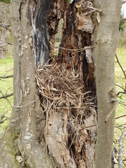 Vogelnest - Vogelnset, Nest, Schlafstätte, Wohnstätte, Brutstätte, Nestbau