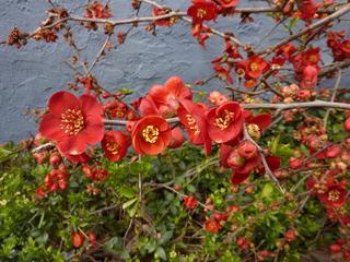 Zierquitte - Zierquitte, Zierpflanze, Hecke, Rosengewächs, Kernobstgewächs, Frühblüher