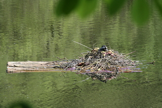 Blässhuhn - Blässhuhn, Blesshuhn, Ralle, Nest, Nestbau, brüten, Brutpflege, Vogel, Wasser, Wasservogel, schwimmen