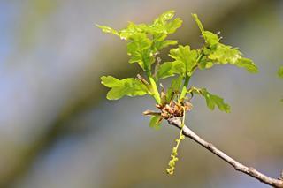 Eiche im Aufbruch - Blütenstand, blühen, Frühling, Eiche, grün, Baum, Laubbaum, Blatt, Blätter, zart, Blüte, Trieb, austreiben