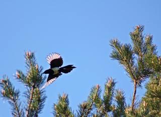 fliegende Elster - Elster, diebisch, Dieb, Vogel, pica pica, Rabenvogel, Zugvogel, Singvogel, schwarz, weiß, Vögel, fliegen