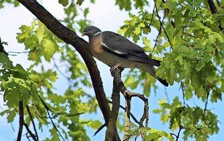 Ringeltaube - Ringeltaube, Vogel, Taube, Columba palumbus, Taubenvögel, Feldtauben