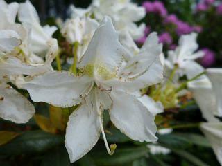 Rhododendron #1 - Rhododendron, Rhododendren, Heidekrautgewächs, Ericaceae, Blüte, Blüten, Blütenblätter, weiß, Staubgefäße, Stempel