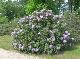 Rhododendron #5 - Rhododendron, Rhododendren, Heidekrautgewächs, Ericaceae, Blüte, Blüten, Blütenblätter, pink, Busch