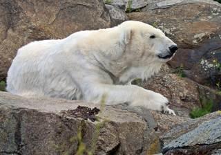Eisbär - Eisbär, Polarregion, Nordpol, Arktis, Klimawandel, Verhalten, Zoo, Haltung, Zootier, Einzelgänger, bedrohte Tierart, gefährdet, gefährlich, Bär, Raubtier, Säugetier, Polarbär, Sohlengänger, weiß