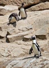 Brillenpinguin #3 - Pinguin, Tier, Zootier, Vogel, Wildtiere, Zootiere, Pinguine, Wassertier, schwarz, weiß, gefährdet, Meeresvogel, African penguin, Blackfooted penguin, Jackass penguin, drei, Jungtier, Kolonie