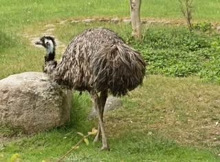 ein Emu - Emu, Australien, Vogel, Zoo, Laufvogel, Fleisch, Nutztier, Symbol, flugunfähig, Dromaiidae, Dromaius, Urkiefervögel, Federn, Schnabel