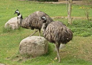 zwei Emus - Emu, Emus, Australien, Vogel, Zoo, Laufvogel, Vogel, Vögel, Fleisch, Nutztier, Symbol, flugunfähig, Dromaiidae, Dromaius, Urkiefervögel, Federn, Schnabel, Paar