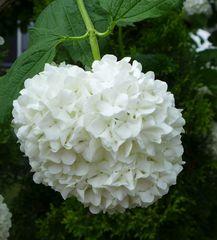 Schneeball - Schneeball, Sommerschneeball, Viburnum, Moschuskrautgewächs