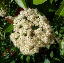 Glanzmispel #1 - Glanzmispel, Red Robin, Photinia, Kronblätter, Rosengewächs, Kernobstgewächs, Zierstrauch, Heilpflanze