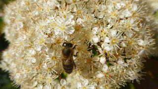 Glanzmispel #3 - Glanzmispel, Red Robin, Photinia, Kronblätter, Biene, Rosengewächs, Kernobstgewächs, Zierstrauch, Heilpflanze