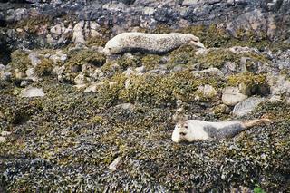 freilebende Robben - Robben, Robbenkolonie, Kolonie, frei, See, Meer, Oban, Naturschutzgebiet, Schottland, Robbe, Raubtier, Tarnung, liegen