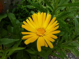 Ringelblume - Ringelblume, Garten-Ringelblume, Korbblütler, Heilpflanze, Calendula, Blütenstand