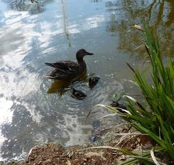 Entenfamilie#2 - Ente, Entenküken, Entenfamilie, Vogel, Vögel, Familie, schwimmen, Wasservogel, Küken