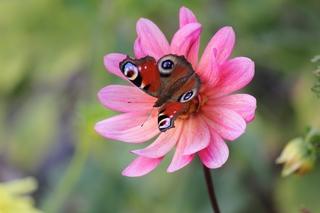 Tagpfauenauge - Schmetterling, Tagpfauenauge, Insekten, Schmetterlinge, Edelfalter, Fleckenfalter, Inachis io