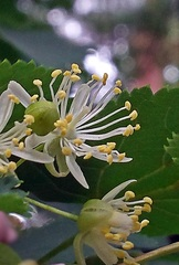 Lindenblüte #2 - Linde, Winterlinde, Lindenblüte, Heilmittel, Laub, Baum, Laubbaum, Blatt, Blätter, Fruchtstand, Frucht, Detail, kugelig, Staubblätter, Narbe, Stempel, Pollen, Kelchblatt