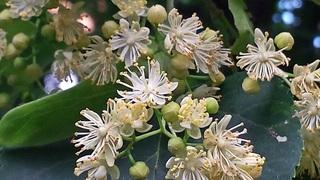 Lindenblüte#3 - Linde, Winterlinde, Lindenblüte, Heilmittel, Laub, Baum, Laubbaum, Blatt, Blätter, Fruchtstand, Frucht, Detail, kugelig, Staubblätter, Narbe, Stempel