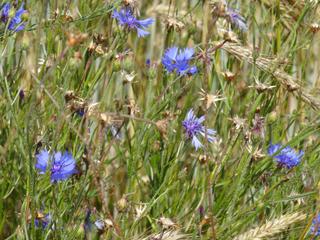 Kornblumen #2 - Kornblume, Getreide, Roggen, Blüte, Korbblütengewächs, Blüte, blau, Blume, Naturschutz, Heilpflanze, einjährig, Centaurea cyanus