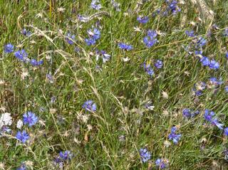 Kornblumen #3 - Kornblume, Getreide, Roggen, Blüte, Korbblütengewächs, Blüte, blau, Blume, Naturschutz, Heilpflanze, einjährig, Centaurea cyanus