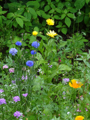 Wildblumen #3 - Sommer, Blumenwiese, Wildblumen, Wiese, Blumen, Blüten, Gräser, Unkraut, grün, blühen, Natur, Kräuter