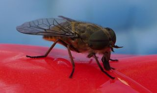 Pferdebremse - Bremse, Pferdebremse, Tabanus sudeticus, Insekt