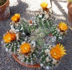 Kaktusblüten - Kaktus, Blüte, blühen, Säulenkaktus, Stacheln, Sukkulent