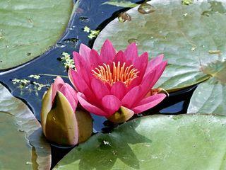 Seerosenblüte - Seerose, Wasserpflanze, Teich, Gewässer, Blüte, rosa, pink, Schwimmblätter, Pflanze, blühen, Knospe