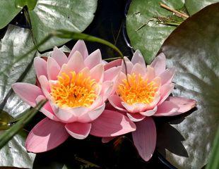 Seerosen - Seerose, Wasserpflanze, Teich, Gewässer, Blüte, rosa, pink, Schwimmblätter, Pflanze