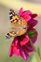 Distelfalter - Distelfalter, Falter, Schmetterling, Tagfalter, Wanderfalter, Symmetrie, symmetrisch