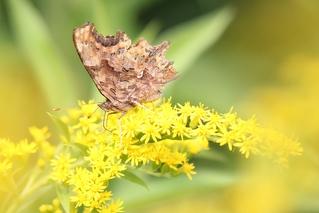 Unterseite C-Falter - Schmetterling, C-Falter, Falter, Edelfalter, Tagfalter