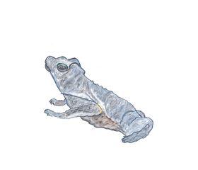 Kröte - Kröte, Wasser, bedrohte Art, Falllaubkrötche, Zwergkrötchen, Lurch, Nacktlurch