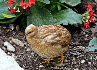 Chinesische Zwergwachtel - Wachtel, Wachteln, Vögel, Hühnervogel, Huhn, klein, Henne, Hahn