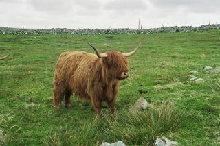 Highland-Cattle - Highland, Cattle, Kuh, Rind, Wiese, Schottland, Nutzvieh, Hochlandrind, Hörner, zottelig, Fell