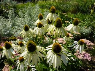 Echinacea - Sonnenhut, Scheinsonnenhüte, Igelköpfe, Korbblütler, Echinacea, Heilpflanze