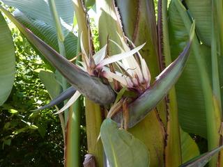 Blüte eines Bananenbaums - Banane, Musacea, Bananenbaum, Bananengewächs, einkeimblättrig, immergrün, mehrjährig, krautig, Laubblätter, palmenartig, Blüte