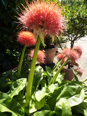 Blutblume - Blutblume, Haemanthus, Zwiebelgewächs, Blume, Blüte, groß, rot, orange, dekorativ, Pflanze, tropisch, Kugel
