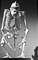 Skelett Primat frontal - Skelett, Primat, Biologie, Licht, Schatten, Ethik, Knochengerüst, Knochen, Naturkunde, Natur, Evolution, Affe, Gorilla