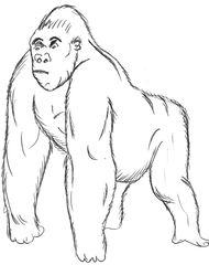 Gorilla - Gorilla, Primat, Affe, Menschenaffe, Trockennasenaffe, Pflanzenfresser, Afrika, Knöchelgang, Säugetier, groß, Zeichnung, Anlaut G