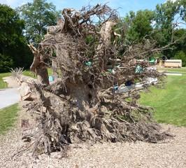 Wurzeln einer Eiche - Baum, Wurzel, Holz, Wald, Zeitabschnitt, Eiche