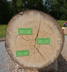 Jahresringe einer Eiche - Jahresring, Jahrring, Holzring, Querschnitt, ringförmig, Maserung, Baum, Klima, Holzmerkmal, Jahreszeitenklima, Trockenzeiten