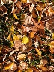 Löwenzahn im Herbstlaub - Herbstfarben, Herbst, Blattfärbung, Herbstlaub, Laub, Blätter, bunt, Jahreszeit, Ahorn, Impression, Meditation, Stimmung, Farbenspiel, Farbe, Oktober