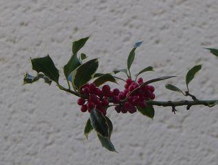 Ilex - Stechpalme, Ilex, Blätter, Beeren, rot, grün, ungenießbar, Strauch, Weihnachtsschmuck, immergrün, giftig, Giftpflanze, zweihäusig, weiblich, Herbst