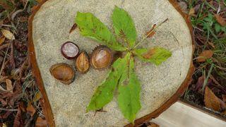 Kastanie - Herbst, Laubbäume, Blatt, Kastanie, Kastanienblatt, Frucht, Rosskastanie, gefingert, Schale, stachelig, Heilpflanze, glatt, glänzend, braun, grün, Fruchtschale, Futterpflanze, Futter, basteln, Samen, Laubbaum