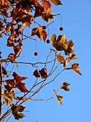 Platanenlaub im Herbst - Platane, Laub, herbstlich, Herbst, Laubbaum, Platanengewächse, Frucht, Früchte, Nüsse, Kugel, rund, kugelrund, Zweige, Äste, ahornblättrig