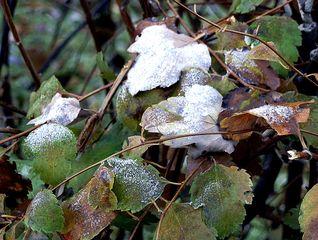 Reif - Niederschlag - Herbst, Winter, Frost, Eis, Raureif, Reif, frieren, eisig, kalt, Perückenstrauch, Eiskristalle, Niederschlag, Resublimation, nadelförmig, Eiskristall