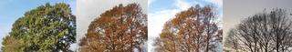 Baum im Herbst - Winter 2 - Baum, Laub, Herbst, Jahreszeiten, Blätter, bunt, Baumkrone, färben, Verfärbung