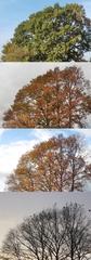 Baum im Herbst - Winter 1 - Baum, Laub, Herbst, Jahreszeiten, Blätter, bunt, Baumkrone, färben, Verfärbung
