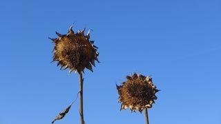 Sonnenblumen - Sonnenblume, Ernte, reif, Blume, Spätsommer, Herbst, Korbblütler, Blüte, verblüht, welk, verwelkt, Meditation, Impuls